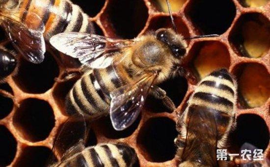 蜜蜂染上蛹病怎么办?蜜蜂蛹病的综合防治技术