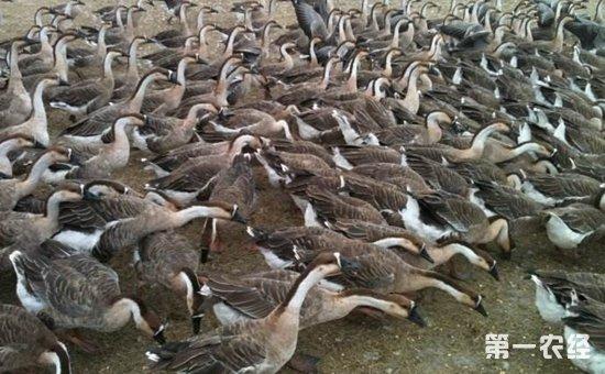 大雁怎么养?不同生长期大雁的养殖技术