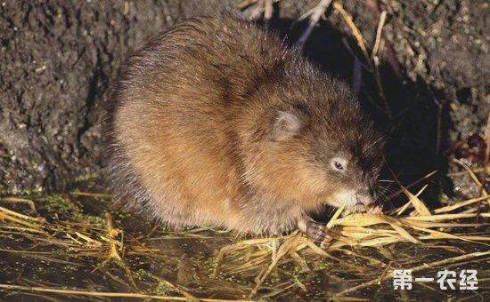 怎么养麝鼠?麝鼠的四季养殖管理要点介绍!