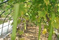砍瓜如何进行种植?砍瓜的种植技术