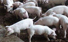 生猪市场供需面临博弈 生猪价格走势涨跌两难