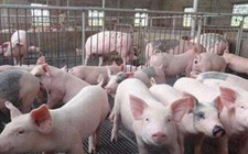 2018年1月12日生猪价格行情仍然主流上涨