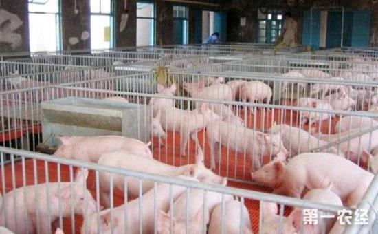 现代化规模养猪怎样节省猪饲料?