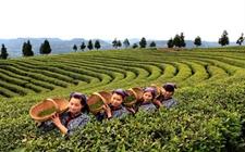 四川米仓山茶叶集团五个产品获得绿色食品认证