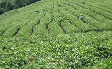 厦门检区去年茶叶出口货值大幅增长
