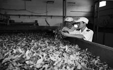 摩洛哥官方加严进口茶叶检验监管 出口企业应关注