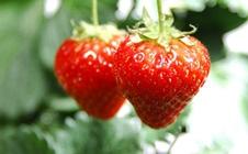 如何提高草莓的产量?春季草莓高产管理技巧