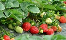 """草莓如何种植?草莓""""六改""""栽培技术"""