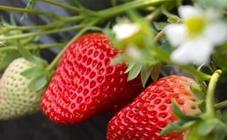 草莓冬季如何防寒?草莓越冬防寒措施