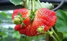 草莓畸形果怎么办?草莓畸形果的防治方法