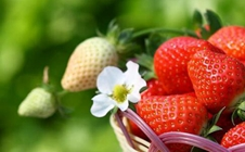 草莓芽线虫病有什么症状?草莓芽线虫病的防治措施