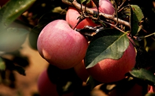 苹果园如何科学用药?苹果园施肥用药技巧