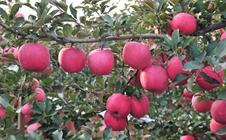 苹果树如何修剪?苹果树疏散分层形整形要点