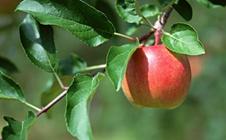 苹果褐斑病如何防治?苹果褐斑病的防治方法