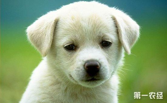 喂养拉布拉多幼犬应该注意什么?