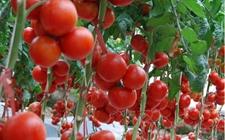 <b>番茄高产早熟种植六大技巧</b>