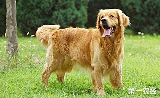 金毛犬和拉布拉多犬有什么区别?金毛犬和拉布拉多犬的区别