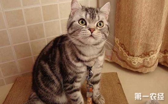 美国短毛猫的喂食和饲养方法