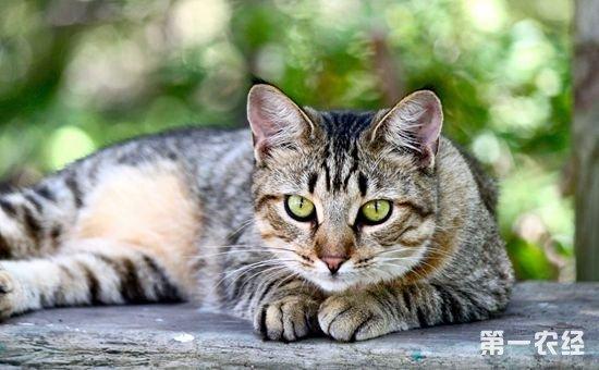 美国短毛猫主要疾病有哪些?该如何防治?