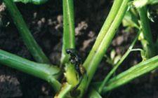 芹菜软腐病如何防治?芹菜软腐病的防治方法