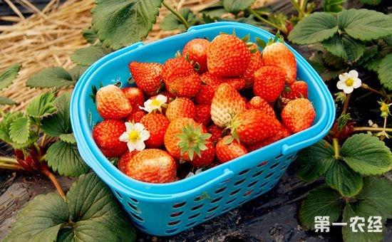 草莓成为了冬日水果的主角 反季节种植草莓助农增收