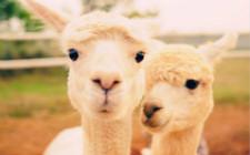 澳大利亚羊驼养殖将迎来发展春天