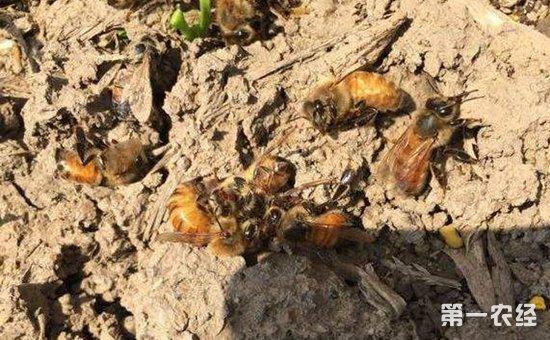 蜜蜂染上大肚病怎么办?蜜蜂大肚病的病症与防治