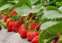 """丁宅""""草莓时节""""已至当地监管部门重点关注餐饮食品安全"""