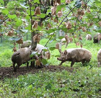 陕西咸阳:温氏模式生猪养殖项目助力脱贫