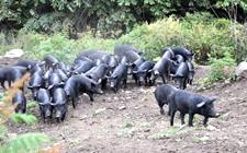纯利润突破150万元!黑猪养殖加工鼓起钱袋子