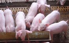 生猪价格走势有所回落 短期内或将难以上涨