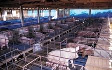 寒冷冬季怎样做好养猪场保温工作?