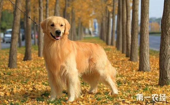 金毛怎么养?金毛犬的饲养方法