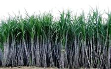 爱利思达生命科学将在巴西推出甘蔗生理激活剂Raizal