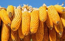 <b>玉米调控后农民该种啥?中央告诉你这四种有出路!</b>