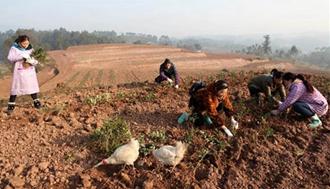 <b>重庆永川:春节前将栽植110多万株茶树苗</b>