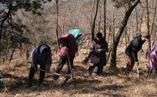 日照巨峰镇计划种植11000亩野山茶