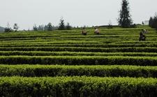 潮州五镇完成1065亩生态茶园改造