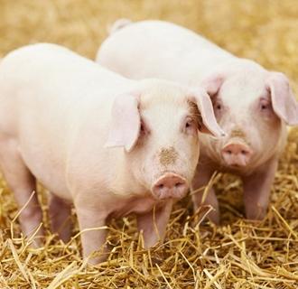 河南农户养猪有保障 已理赔138万头育肥猪保险