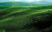 永川新建宜机化标准茶园 促进茶叶产业增产增效