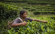 普洱茶知识:普洱茶鲜叶是如何采摘的?