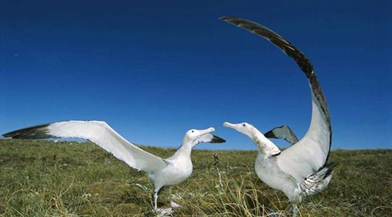 世界上翼展最大的鸟——漂泊信天翁