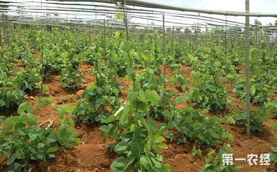广西多喜村引导村民种植猫豆脱贫致富