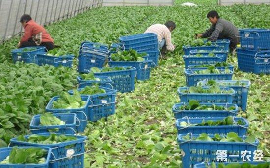 张家口重点推进蔬菜产业供给侧结构改革显效益