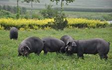 湘西黑猪养殖显效益 18户贫困户成功脱贫