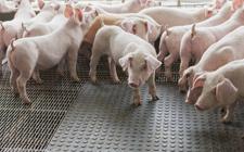 2018年1月17日生猪价格行情呈现涨跌互现趋势