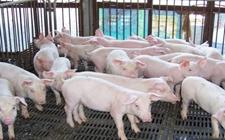 生猪市场供需趋于平衡 全国生猪价格走势趋稳发展