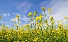 乌克兰2017/18年度油菜籽出口达350万吨 较同期增52%