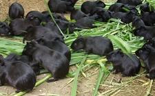 <b>苏玉文:科学养殖黑豚走出一条致富路</b>