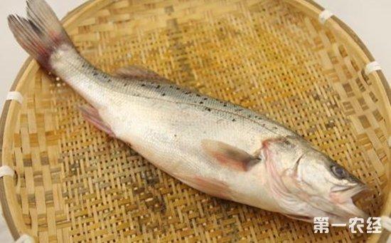 鲈鱼染上疾病怎么办?鲈鱼常见疾病的病症与防治
